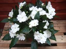 impatiens flowers how to grow new guinea impatiens growing tips for new guinea