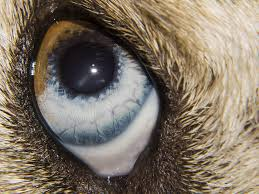 Eye Ducts Anatomy Watery Eyes In Dogs