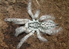 475 best tarantulas images on spiders bugs and scorpion