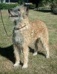 australian shepherd rescue las vegas miniature australian shepherd puppies and dogs for sale in las
