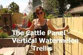 how to make a watermelon garden arch trellis from a cattle panel you