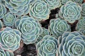 succulent house hens and or house leek succulent stock photo picture and