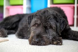 belgian sheepdog poodle mix labradoodle dog breed information pictures characteristics