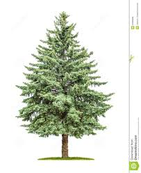 pine tree on a white background stock photo image 54595598