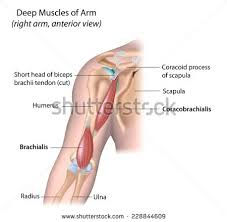Shoulder And Arm Muscles Anatomy Muscles Arm Anatomy Labeled Diagram Stock Illustration 147941741