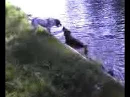 australian shepherd queensland heeler mix pictures australian shepherd australian cattle dog blue heeler mix