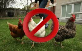 Chickens Backyard Michigan Residents No Longer Able To Farm In Own Backyards