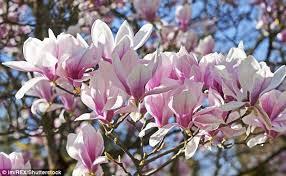 magic of magnolias ravishing provide instant impact if