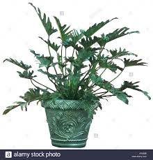 philodendron split leaf philodendron house plant stock photo royalty free