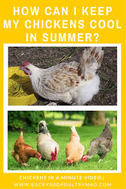 how to keep chickens cool in summer chickens in a minute video