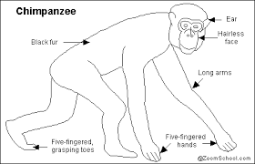 Female Anatomy Diagram For Kids All About Chimpanzees Enchantedlearning Com