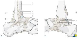 Collateral Ligaments Ankle Ao Surgery Reference