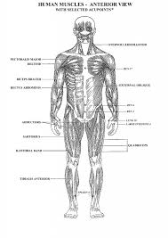 Human Anatomy Worksheet Muscle Anatomy Worksheet Human Anatomy Diagram