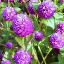 straw flowers globe amaranth pinball purple friends school plant sale