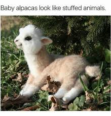 Alpaca Sheep Meme - 25 best memes about baby alpaca baby alpaca memes
