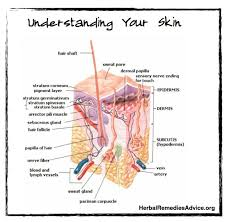 Human Anatomy Integumentary System Integumentary System Functions