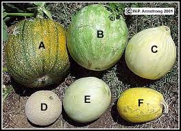 fruits of the gourd family