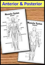 Interactive Muscle Anatomy System Big Foldable For Interactive Notebooks Or Binders