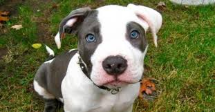 american pitbull terrier in india american pit bull terrier the story of a pet dogalize