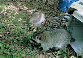 welcome to raccoon rescue of the valleys