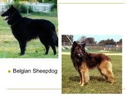 belgian sheepdog border collie mix dog breeds housing and equipment ppt video online download