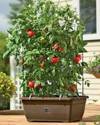 review self watering tomato planter for growing patio tomatoes