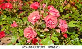 lovely pink climbing roses ornamental stock photo 397436479
