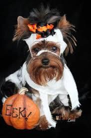 Yorkie Costumes Halloween Pin Helga Bales Yorkie Halloween Photos