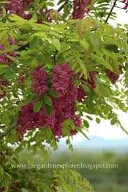 idaho native plants 57 best landscaping trees u0026 shrubs images on pinterest shrubs