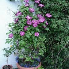 clematis balkon clematis ville de lyon for balcony and patio clematis