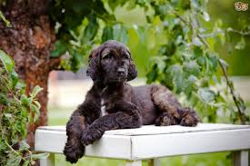 afghan hound group afghan hound dog breed information buying advice photos and