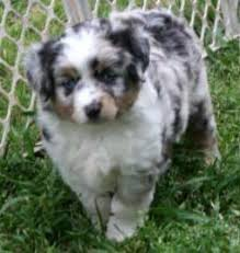 australian shepherd yorkie mix for sale texas miniature toy aussie australian shepherds puppies for sale