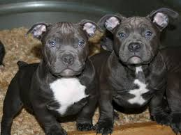american pitbull terrier 5 months old 8 essential nutrients american bully puppies need to grow strong
