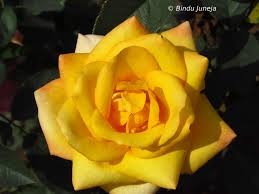 Different Color Roses Different Colours Of Life Yellow Rose In Wild