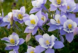 columbine flowers vermont garden journal planting columbines vermont radio