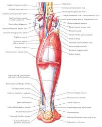anatomy of achilles tendon choice image learn human anatomy image