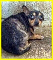 cani in cerca di casa le cronache animali appello ringhietto di un tesoro di