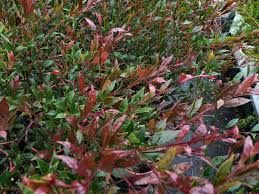 native plants australia list australian native hedges gardening with angus