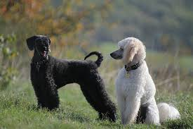poodles long hair in winter my experimental cuts page 5 poodle forum standard poodle toy