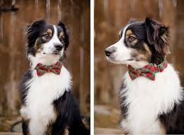 skiing with australian shepherd daily dog tag page 56 of 223 featuring great dogs and