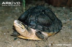 south asian box turtle videos photos and facts cuora