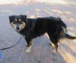 australian shepherd spaniel mix dog of the day jake the australian shepherd rottweiler mix the