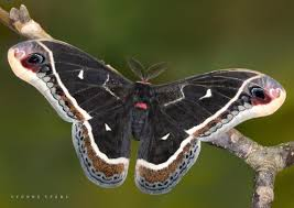 20 best moths images on pinterest moth google search and