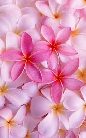 Plumerias 75 Best Love Plumerias Images On Pinterest Plumeria Flowers