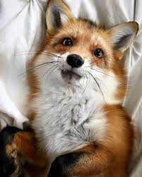 sleeping red fox wallpapers 856 best little fox images on pinterest red fox wild animals