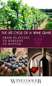 the life cycle of a wine grape from planting to harvest