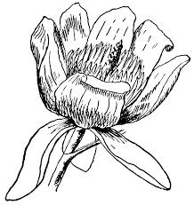 tulip tree flower clipart etc