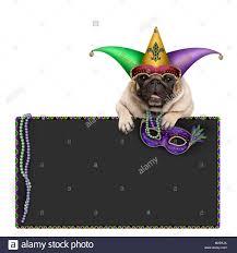 mardi gras jester ribbon dog mardi gras mask white background stock photos mardi gras mask