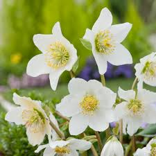 helleborus niger carol dobbies garden