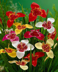 tigridia pavonia mixed colours bulbs tiger flowers buy
